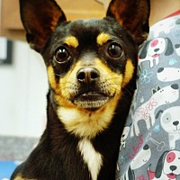 Terrier (Unknown Type, Small)/Chihuahua Mix Dog for adoption in Casa Grande, Arizona - Lex