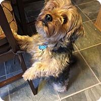 Adopt A Pet :: Chewbacca - Baltimore, MD