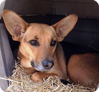 German Shepherd Dog/Carolina Dog Mix Dog for adoption in Little Rock, Arkansas - Trimmy