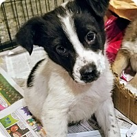Adopt A Pet :: Oreo(ADOPTED!) - Chicago, IL