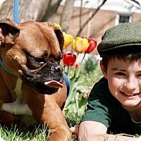 Boxer Dog for adoption in Media, Pennsylvania - THANOS AKA MR. T