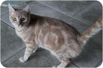 Domestic Shorthair Cat for adoption in Duncan, British Columbia - Honeymum