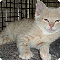 Adopt A Pet :: Pabu - Acme, PA
