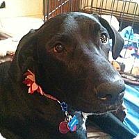 Adopt A Pet :: Kiwi - Broomfield, CO