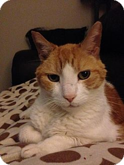 American Shorthair Cat for adoption in Wakefield, Massachusetts - Butternutz