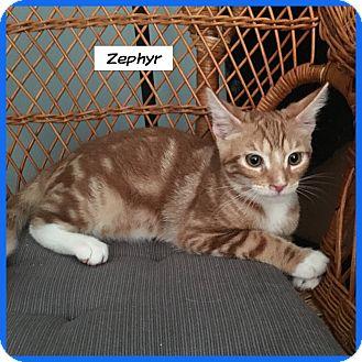 Domestic Shorthair Cat for adoption in Miami, Florida - Zephyr