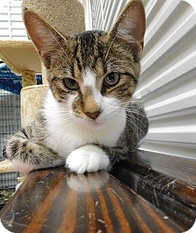 Domestic Shorthair Kitten for adoption in St. Francisville, Louisiana - Miles