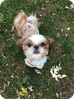Shih Tzu Dog for adoption in Eden Prairie, Minnesota - HERBIE
