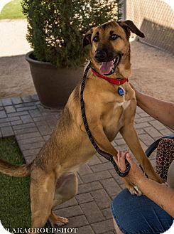 German Shepherd Dog Mix Dog for adoption in Phoenix, Arizona - Patches