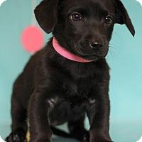 Adopt A Pet :: Ketchup - Waldorf, MD