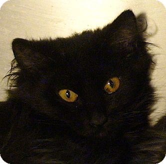 Domestic Mediumhair Kitten for adoption in El Cajon, California - Kitty