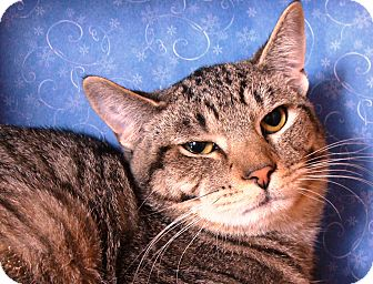 Domestic Shorthair Cat for adoption in Albany, New York - Duffy