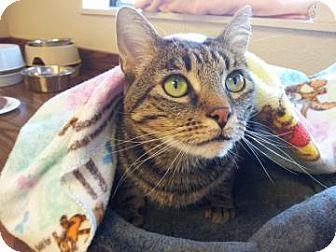 Domestic Shorthair Cat for adoption in Mountain Center, California - Grumpy