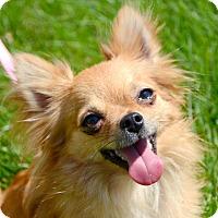 Adopt A Pet :: zoey - Rockaway, NJ