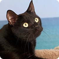 Domestic Shorthair Cat for adoption in Coronado, California - Mo
