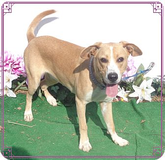 Labrador Retriever Mix Dog for adoption in Marietta, Georgia - CAROLINE-see video