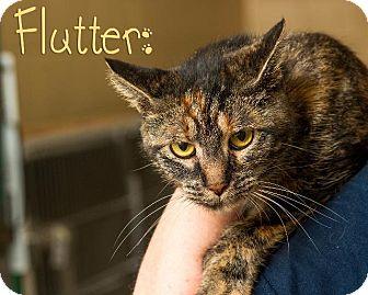 Domestic Shorthair Cat for adoption in Somerset, Pennsylvania - Flutter