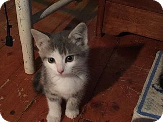 Domestic Shorthair Kitten for adoption in THORNHILL, Ontario - Timbit