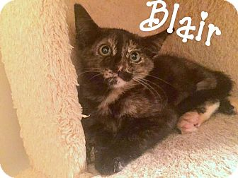 Domestic Shorthair Kitten for adoption in Chattanooga, Tennessee - Blair