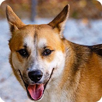 Husky/German Shepherd Dog Mix Dog for adoption in Decatur, Georgia - HAUS