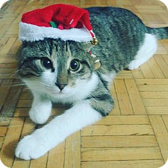 Domestic Shorthair Cat for adoption in THORNHILL, Ontario - Tulo