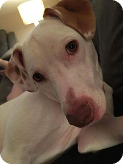 American Pit Bull Terrier/Vizsla Mix Dog for adoption in Louisville, Kentucky - Tony