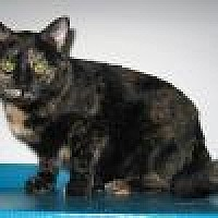 Adopt A Pet :: Fresca - Powell, OH