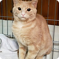 Domestic Shorthair Kitten for adoption in Jeannette, Pennsylvania - Viper