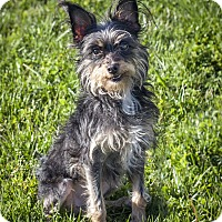 Adopt A Pet :: Tiki - St Helena, CA