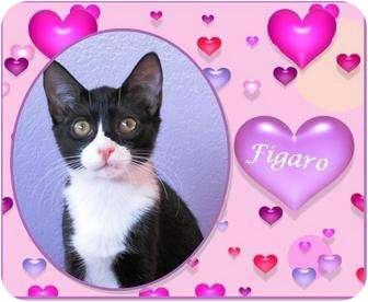 Domestic Shorthair Kitten for adoption in Encinitas, California - Figaro