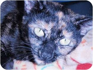 Domestic Shorthair Cat for adoption in Pasadena, California - Camille