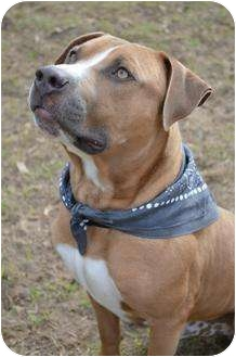 American Staffordshire Terrier/American Pit Bull Terrier Mix Dog for adoption in Orlando, Florida - Cam