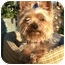 Photo 1 - Yorkie, Yorkshire Terrier Dog for adoption in Huntsville, Alabama - Chloe