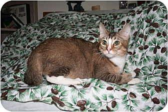 Domestic Shorthair Cat for adoption in Santa Rosa, California - Pegasus