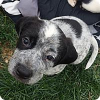 Adopt A Pet :: Do - Westminster, CO
