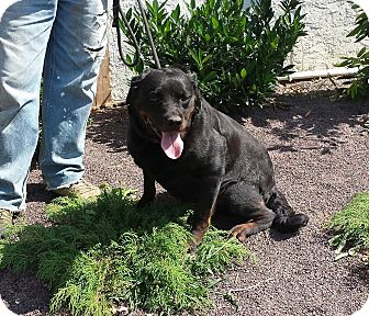Rottweiler Mix Dog for adoption in Frederick, Pennsylvania - Bebe