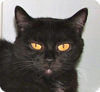 Domestic Shorthair Cat for adoption in Walden, New York - Sadie