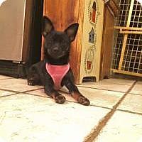 Adopt A Pet :: Violet - Marlton, NJ