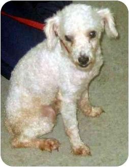 Poodle (Miniature) Mix Dog for adoption in Albany, Georgia - Pepi