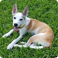 Adopt A Pet :: Ginny - Tomball, TX