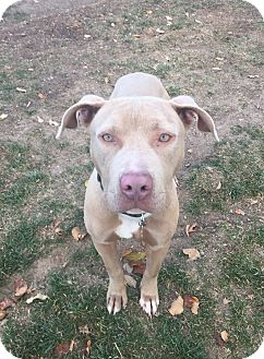 Pit Bull Terrier/American Staffordshire Terrier Mix Dog for adoption in Cheyenne, Wyoming - Caleb