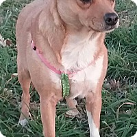 Chihuahua/Thai Ridgeback Mix Dog for adoption in Macomb, Illinois - Twinkie
