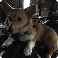 Adopt A Pet :: Poppy - Freeport, NY