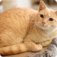 Adopt A Pet :: Cream - Dalton, GA