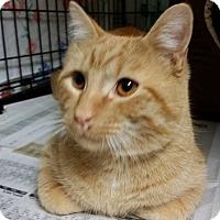 Domestic Shorthair Cat for adoption in Hawk Point, Missouri - Sir Louie