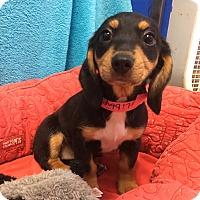 Adopt A Pet :: Libbie - Groton, MA