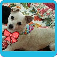 Adopt A Pet :: ChaCha (DS) - Santa Ana, CA