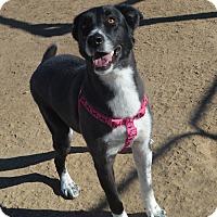 Adopt A Pet :: Mystic - Peyton, CO
