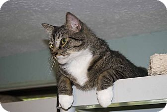 Domestic Shorthair Cat for adoption in New Port Richey, Florida - Dillon