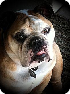 English Bulldog Dog for adoption in Gilbert, Arizona - Mugsy